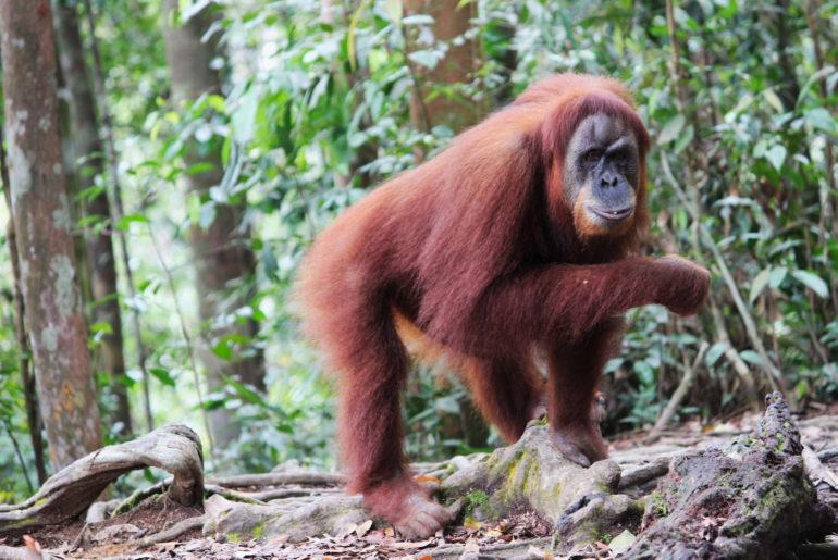 Orang-Utans im Dschungel von Sumatra